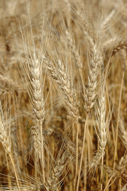 Indian Wheat, Durum, Lokwan, Milling Wheat